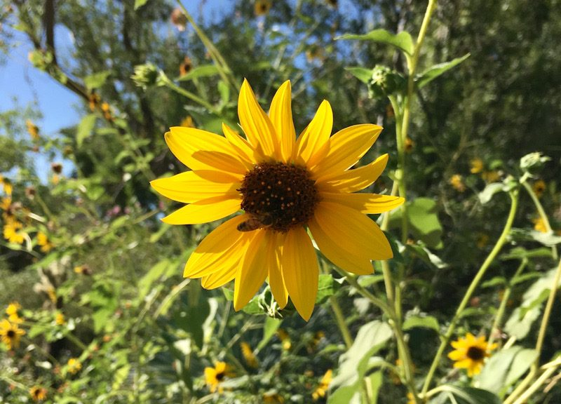 Bright yellow sunflower surrounded by smaller ones. Sídhe energy.