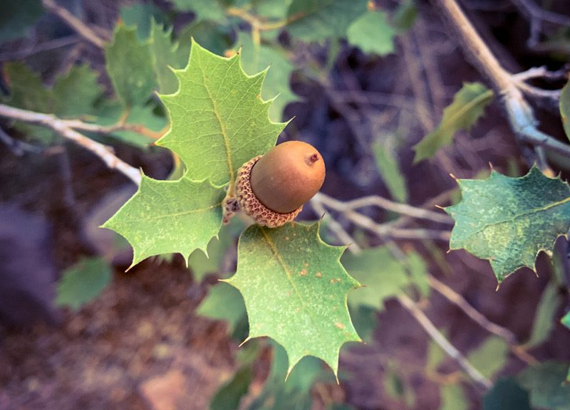 Close up of a desert oak acorn.