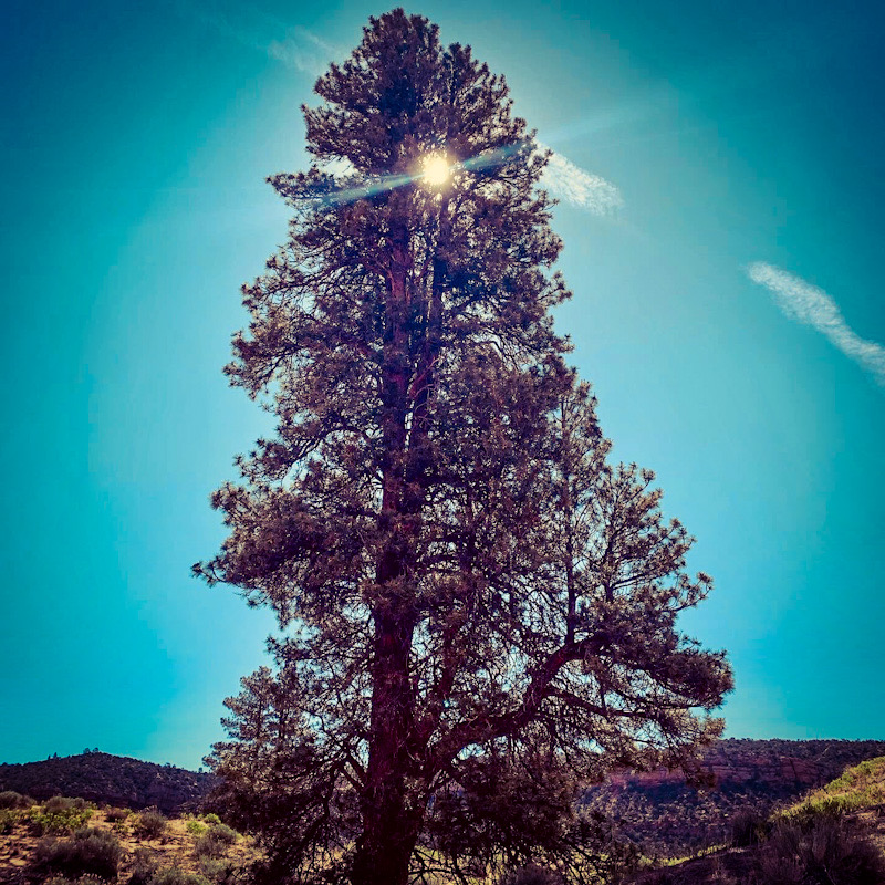 A 200-year-old Ponderosa pine tree stands tall with the sun shining from directly behind it against a vivid blue sky.